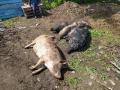 На ферме в Кузбассе животные сгорели заживо