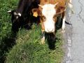 В Кузбассе в центре города гуляют коровы и лошади
