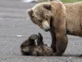 В Тисульском районе мама-медведица прямо на дороге покормила медвежонка