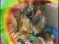 В Новосибирске умерла собака, получившая жуткие травмы от кузбасских живодёров
