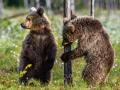 Медвежонок пришёл к дачам под Новокузнецком