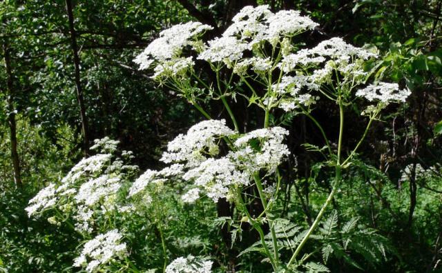 Ядовитые растения тульской области
